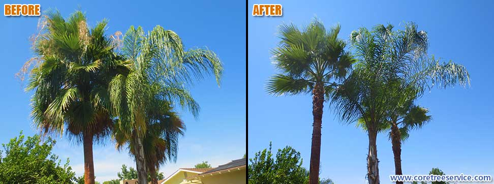 Before & After, Two Fan Palms & One Queen Palm In Phoenix, 85013