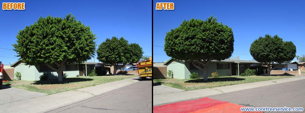 Before & After, trimming 2 Ficus Trees in Phoenix, 85008