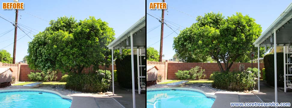 Before & After, lightly trimming an Orange tree in Scottsdale, 85251