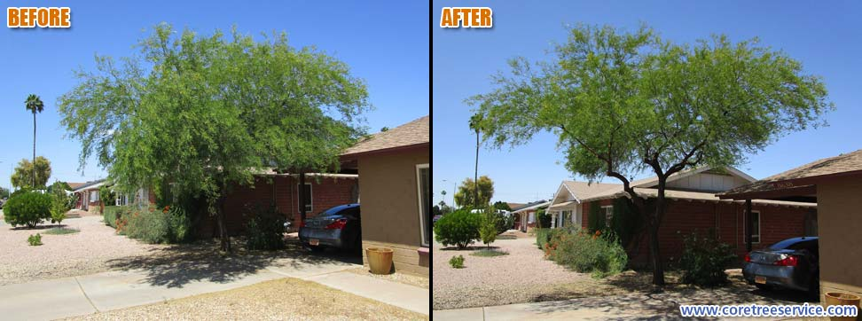 Before & After, trimming an overgrown Mesquite in Scottsdale, 85257